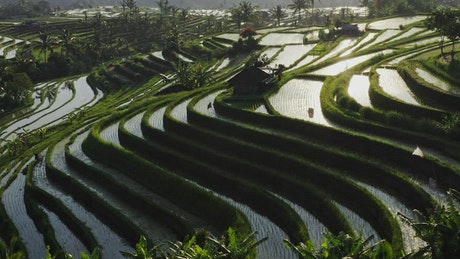 Aerial view of tiered Indonesian rice paddys in sunlight