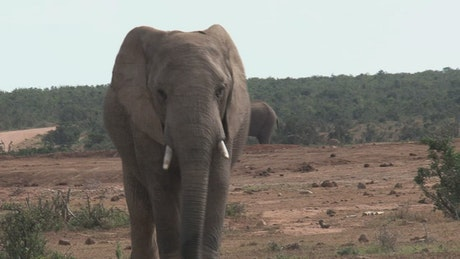 African elephant walking in the wild