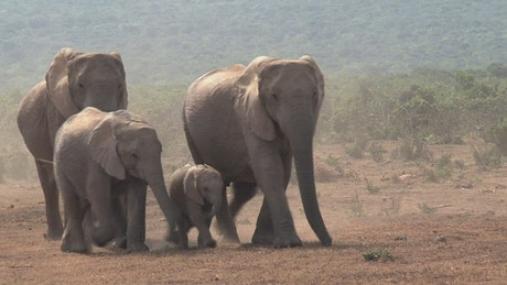 African elephants walking on a dusty ground