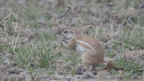 African ground squirrel eating grass