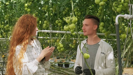 Agronomists checking vegetables at a greenhouse