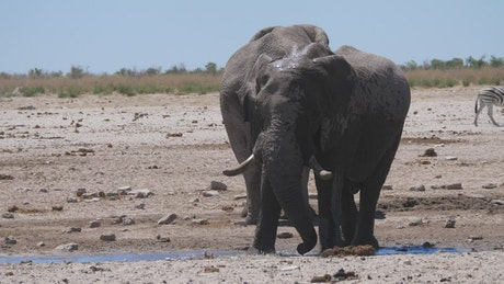 An elephant splashes himself with water