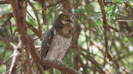 An Owl hooting standing on a tree
