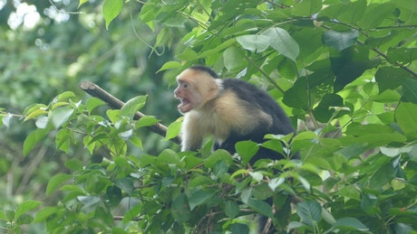 Angry monkey jumping around in the forest