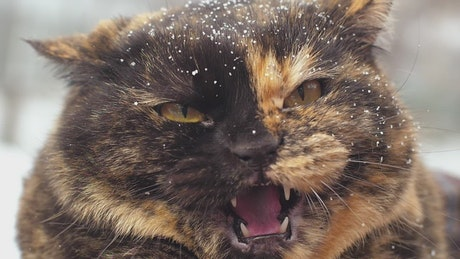 Angry wild cat with snow in hair