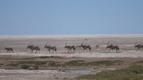 Animals crossing a dry savanna