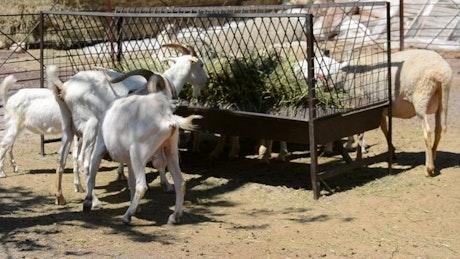 Animals eating at a farm