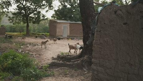 Animals in an African village