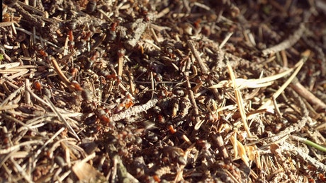 Ant colony swarming