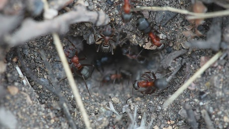 Ants at the entrance of an anthill