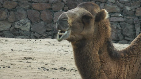 Arabian camel while eating