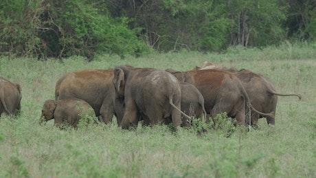 Asian elephants with baby elephants