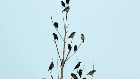 Asian Starlings in a large group