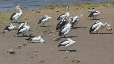 Australian Pelicans at the beach