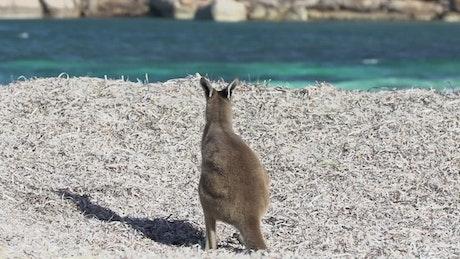 Baby kangaroo relaxing on the beach