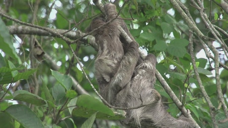 Baby sloth with his mom in a tree