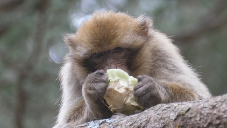 Barbary ape eating fruit on a tree