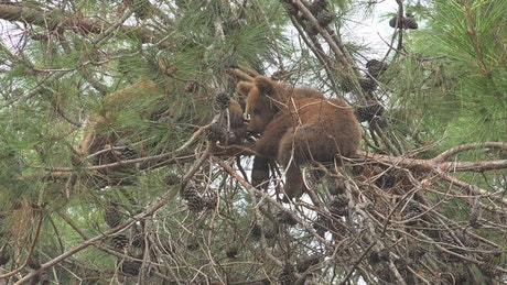 Bear cub in the top of the tree