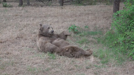Bear scratching himself in the woods