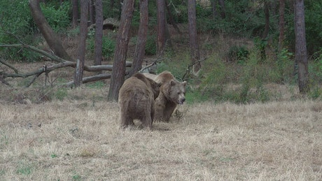 Bears fighting in the forest