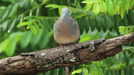 Beautiful Dove in the woods
