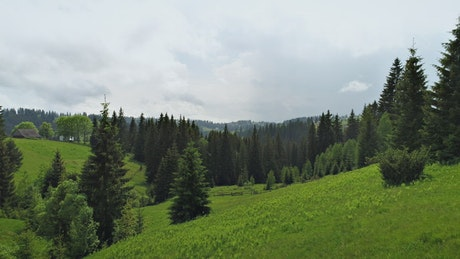 Beautiful green forest full of pine trees in spring