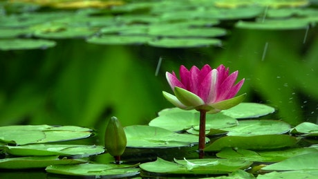 Beautiful lotus flower in a lake