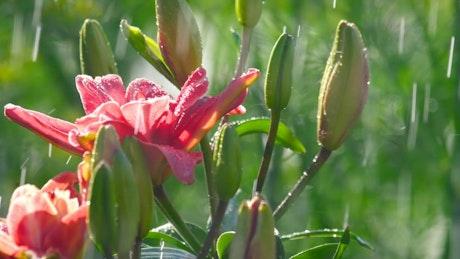 Beautiful pink flower under the rain closeup