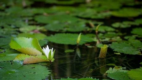 Beautiful Water Lily opening