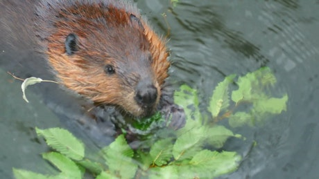 Beaver eating in the water