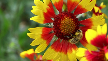 Bee at work on a red and yellow flower