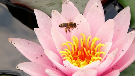 Bee feeding on a lotus flower