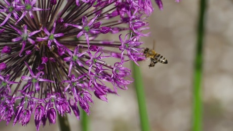 Bee flying around a purple flower