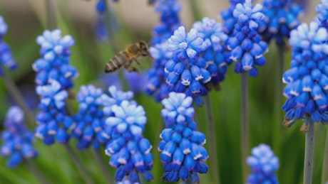Bee flying around blue flowers