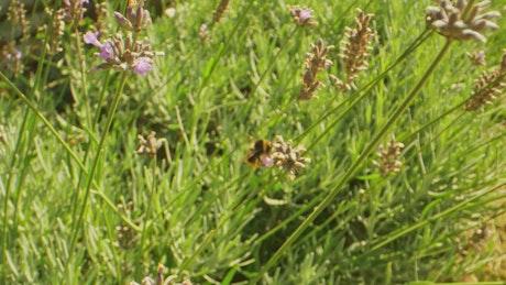 Bee flying around flowers