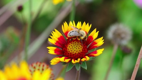 Bee is inspecting the flower