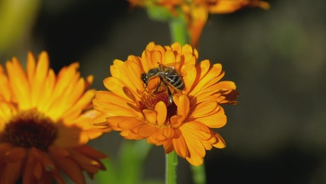 Bee is pollinating an orange flower