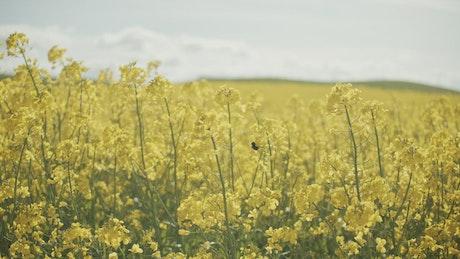 Bee moving between crops