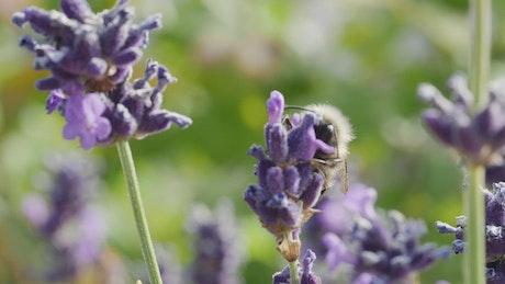 Bee moving between flowers