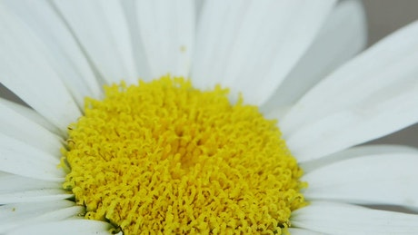 Bee on a daisy, macro close up