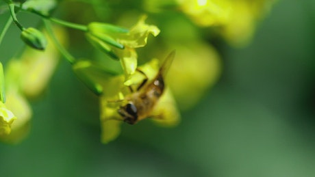 Bee on a yellow flower in a green background
