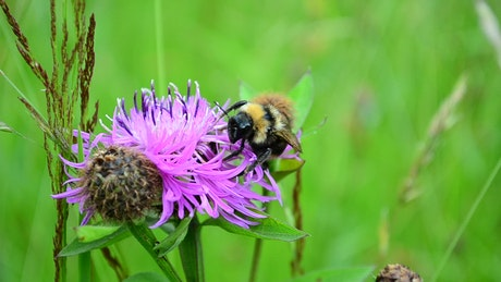 Bee perched on a purple flower in nature