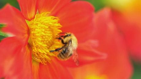 Bee pollinating an orange flower