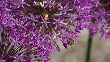 Bee standing on a purple flower