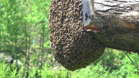 Bee Swarm on a trunk