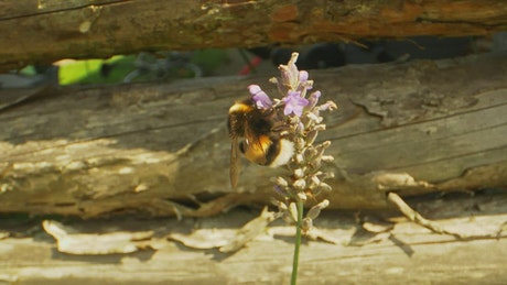 Bee taking nectar from a Lavender plant