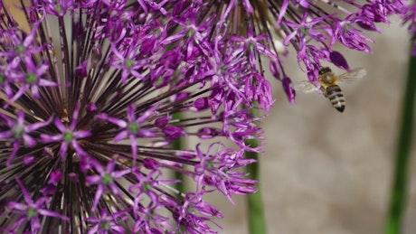 Bee working on a purple flower