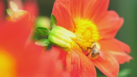 Bee working on an orange flower