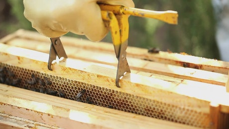 Beekeeper removing a board with a honeycomb full of bees