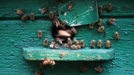 Bees at the entrance of the beehive